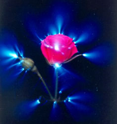 Rose andd Kirlian effect